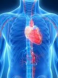Menselijk hart Stock Foto's