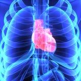 Menselijk hart Royalty-vrije Stock Afbeeldingen