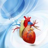 Menselijk hart Stock Afbeelding