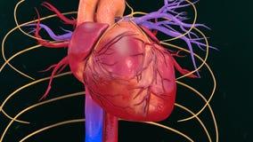 Menselijk hart Stock Afbeeldingen