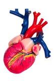 Menselijk hart, anatomisch model stock afbeeldingen