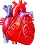 Menselijk hart met aders en aorta in lage poly vector illustratie