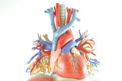 Menselijk hartmodel stock afbeeldingen