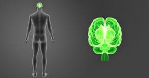 Menselijk Hersenengezoem met de Latere Mening van het Skeletlichaam royalty-vrije illustratie