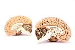 Menselijk hersenenmodel op witte achtergrond Stock Foto's