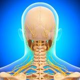Menselijk hoofdskelet en zenuwstelsel Stock Foto's