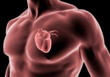Menselijk lichaam en hartanatomie royalty-vrije illustratie