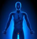 Medische Weergave - Mannelijke Organen - Voorstanderklier stock illustratie