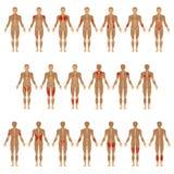 Menselijk lichaam, spier royalty-vrije illustratie