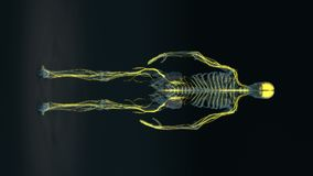 Menselijk lichaam - vrouwelijk zenuwstelsel - lichaam lijn vector illustratie