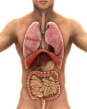Menselijk Lichaamsanatomie stock illustratie