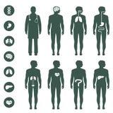 Menselijk Lichaamsanatomie vector illustratie
