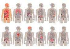 Menselijk Lichaamsanatomie royalty-vrije illustratie