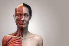 Menselijk lichaamsanatomie van vrouw Royalty-vrije Stock Foto's