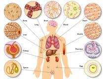 Menselijk lichaamscellen vector illustratie