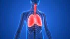 Menselijk Lichaamsorganen (Longen met zenuwstelselanatomie) Stock Afbeelding