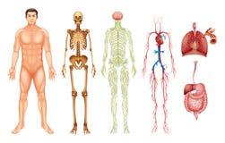 Menselijk lichaamssystemen Royalty-vrije Stock Afbeelding
