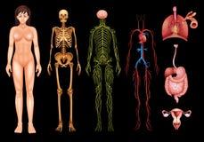Menselijk lichaamssystemen royalty-vrije illustratie