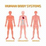Menselijk lichaamssystemen Stock Foto