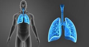 Menselijk Longengezoem met lichaams voorafgaande mening stock illustratie