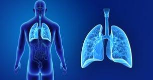 Menselijk Longengezoem met organen latere mening stock illustratie