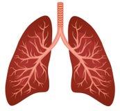Menselijk longenorgaan Royalty-vrije Stock Foto