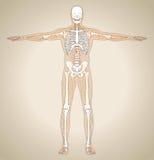 Menselijk (mannelijk) lymfatisch systeem vector illustratie