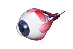 Menselijk oog vector illustratie
