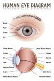 Menselijk oogdiagram Stock Afbeelding