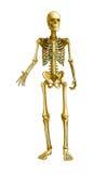 Menselijk Skelet stock illustratie