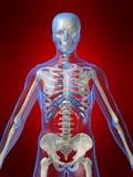 Menselijk skelet Stock Afbeeldingen