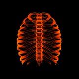 Menselijk skelet royalty-vrije stock afbeeldingen