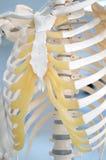 Menselijk skelet Stock Afbeelding