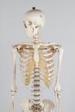 Menselijk skelet Stock Foto