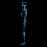 Menselijk skelet (3D xray blauwe transparant) Stock Fotografie
