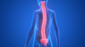 Menselijk Skelet met Zenuwstelsel royalty-vrije illustratie