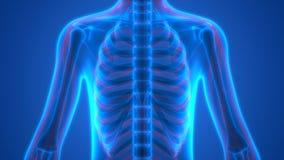 Menselijk Skelet met Zenuwstelsel stock illustratie