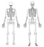 Menselijk Skelet - Voorzijde en Rug Royalty-vrije Stock Afbeelding