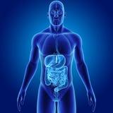 Menselijk Spijsverteringssysteem met Organen Voorafgaande mening stock illustratie