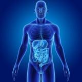 Menselijk Spijsverteringssysteem met Skelet Voorafgaande mening vector illustratie