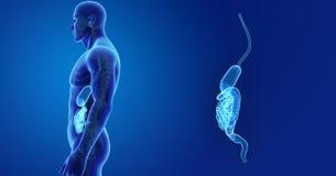 Menselijk Spijsverteringssysteemgezoem met Skelet Zijmening stock illustratie