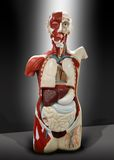 Menselijk torso Stock Fotografie