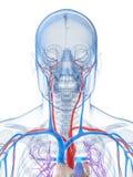 Menselijk vasculair systeem Royalty-vrije Stock Foto's