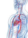 Menselijk vasculair systeem Stock Fotografie