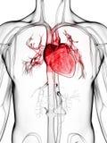 Menselijk vasculair systeem stock illustratie