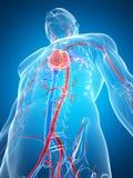 Menselijk vasculair systeem Stock Foto