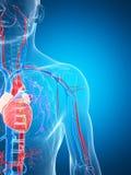 Menselijk vasculair systeem Stock Foto's