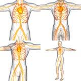 Menselijk vasculair systeem Stock Afbeeldingen