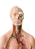 Menselijke anatomie royalty-vrije stock afbeelding
