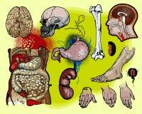 Menselijke anatomie stock illustratie